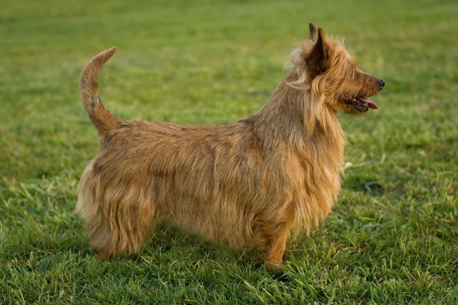 Australian Terrier Hündin Ch. Miepje v.h.Wachthuis