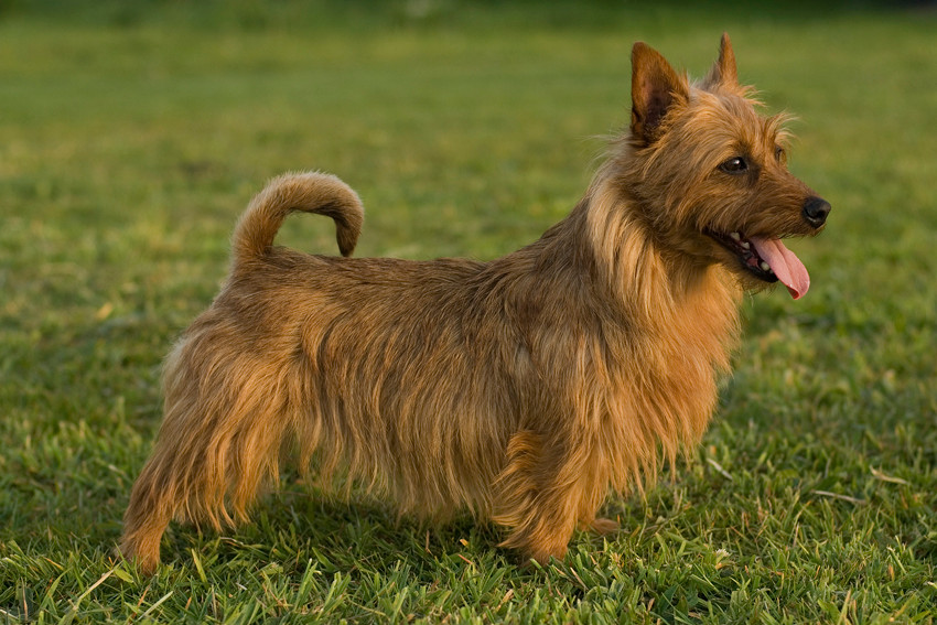 Australian Terrier Hündin Arwen von den Grauen Anfurten