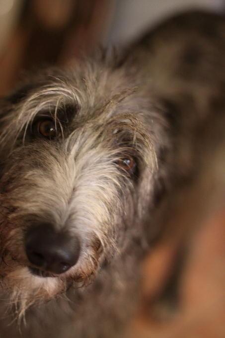 ...oder ein bettelnder Deerhound?