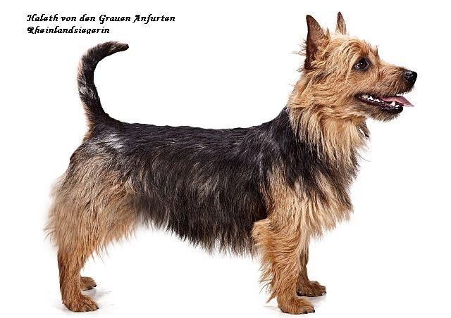 Rheinlandsiegerin Australian Terrier Hündin Harleth von den Grauen Anfurten