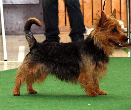CAC  Australian Terrier Haladin von den Grauen Anfurten