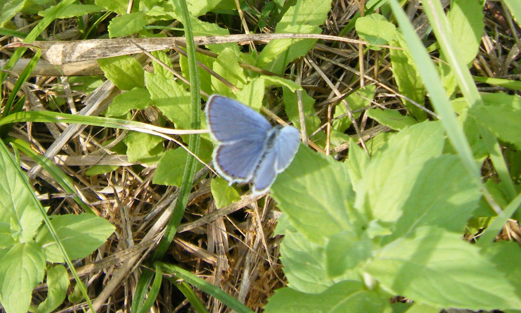 ... zeigt der zarte, kleine Schmetterling die ganze Pracht seines schönen Blautons in voller Breite.