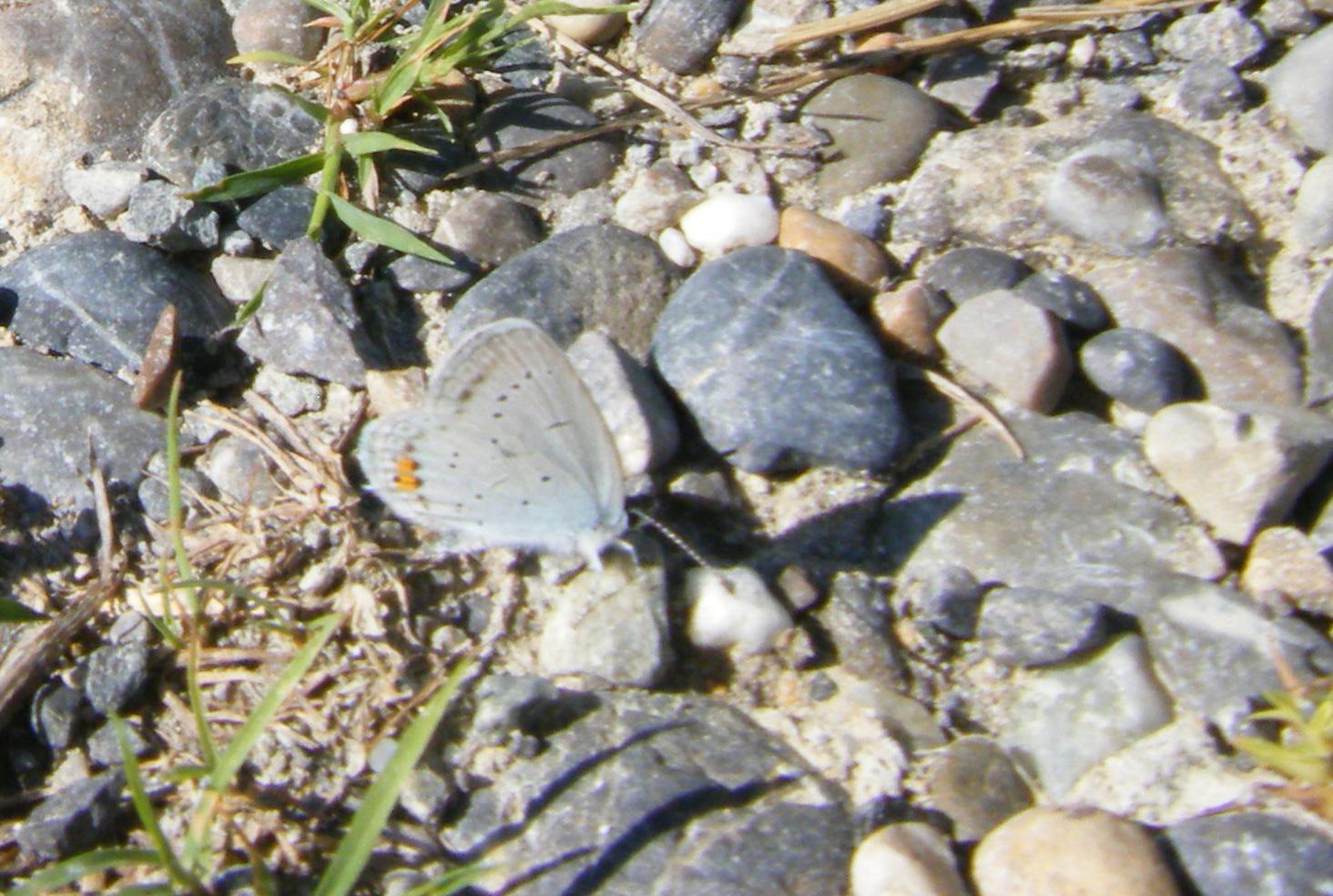 zwischen den Steinen vor Fressfeinden gut getarnt. Das kleine, weisse Flügelschwänzchen ist gegen den dunklen Hintergrund gut zu erkennen