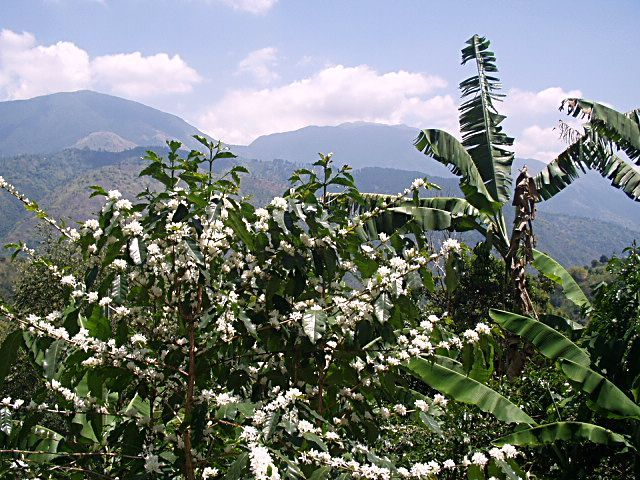 JAMAICA'S FAMOUS BLUE MOUNTAIN COFFEE BLOOMING