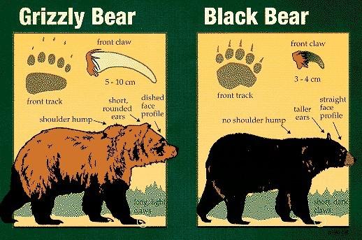 Unterschiede Grizzly und Schwarzbär / Bild: © parkscanada.gc.ca