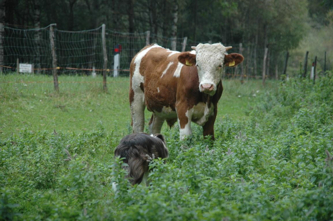 """unser Stier """" Hansi"""" mit acht Monaten"""