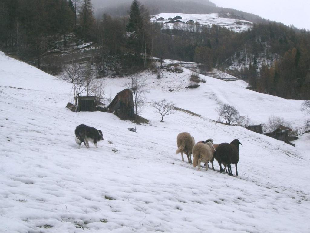 auch im Winter kann man hüten, an den Schafen