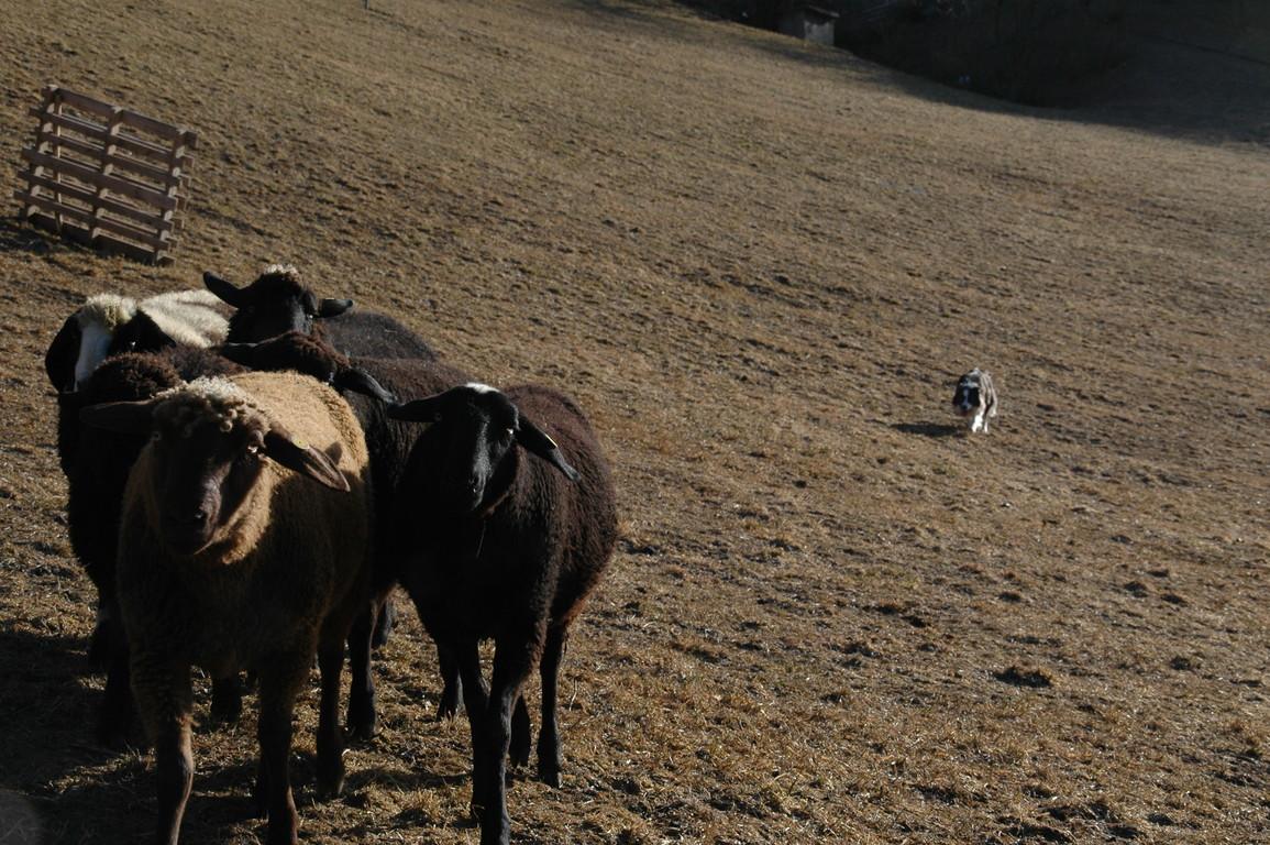 bring Frauchen die Schafe