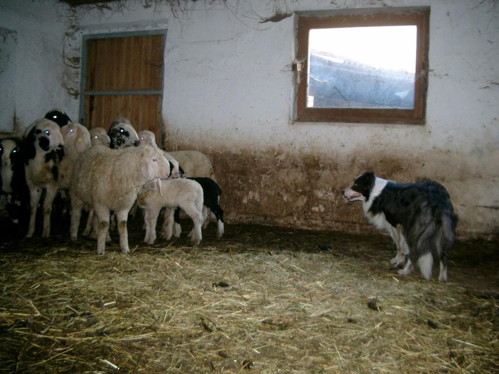 bring für Frauchen die Schafe aus dem Stall