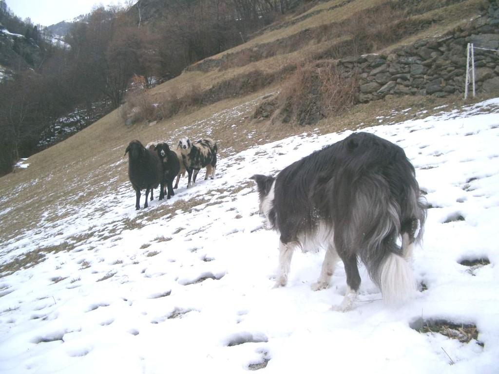 die Schafe werden sich von mir abdrehen und langsam vorwärtsgehen