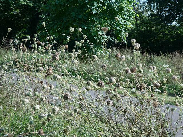 Abb. 1 Gewöhnliche Möhre am Rand einer Wildblumenwiese auf dem Südfriedhof
