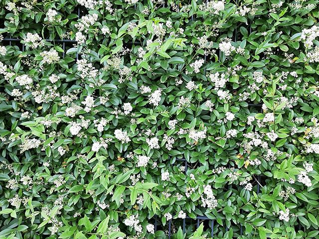 Abb. 1 Welch seltener Anblick: Eine hohe Liguster-Hecke in Blüte / Foto: Brigitte Steinke