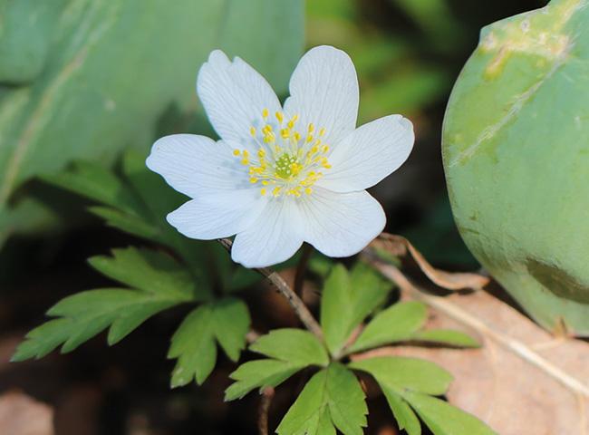 Abb. 2 Blüte eines Busch-Windröschens in zwittrigem Zustand / Foto: Dorothea Bellmer