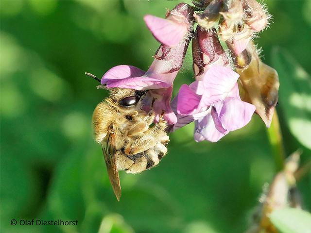 Abb. 2: Weibchen der Mai-Langhornbiene an der Zaun-Wicke (Schrebergarten, Düsseldorf Wersten) / Foto: Olaf Diestelhorst