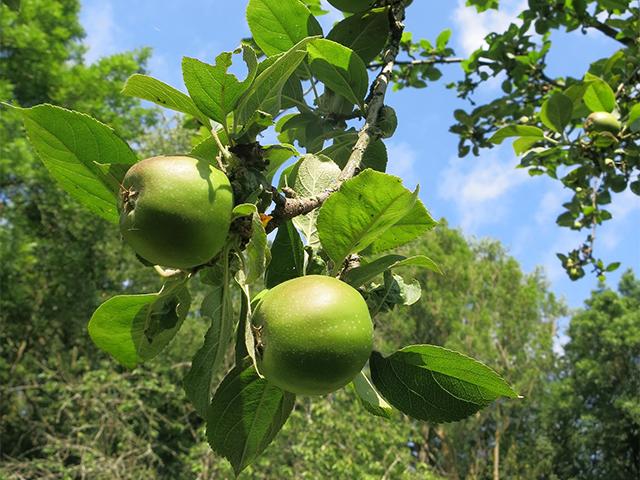 Goldparmäne - alte Apfelsorte auf der NABU Obstwiese / Foto: Teresa Taborek-Weisker