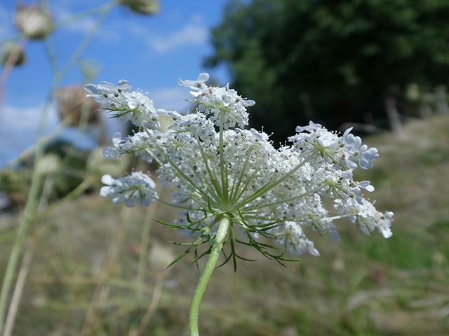 Abb. 3 Die Dolde der Gewöhnlichen Möhre besteht aus mehreren kleineren Dolden, auf deren kleinen Strahlen die Blüten sitzen.