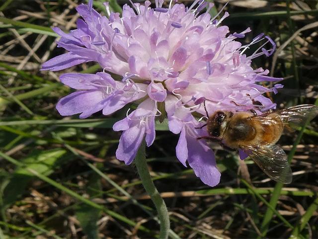 Abb. 3 Stängel und Blütenboden der Wiesen-Knautie sind mit steifen Haaren versehen. Die Blüte wird gerade von einer Honigbiene besucht. / Foto: Brigitte Steinke