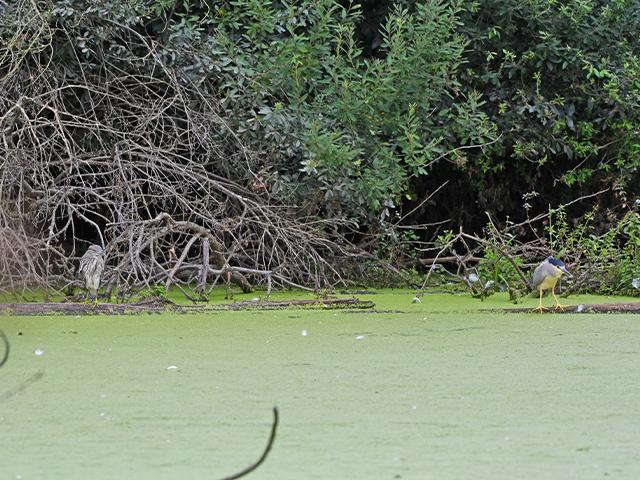 links Jungvogel, rechts Altvogel / Foto: Stefan Wenzel