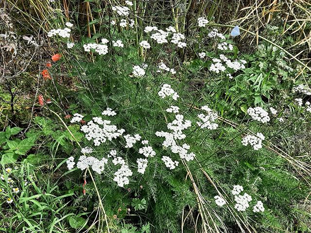 Abb. 1 Gewöhnliche Schafgarbe in einem Blühstreifen vor einem Rapsfeld