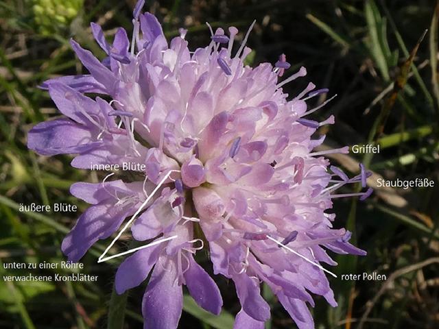 Abb. 4 Details eines Blütenstands / Foto: Brigitte Steinke