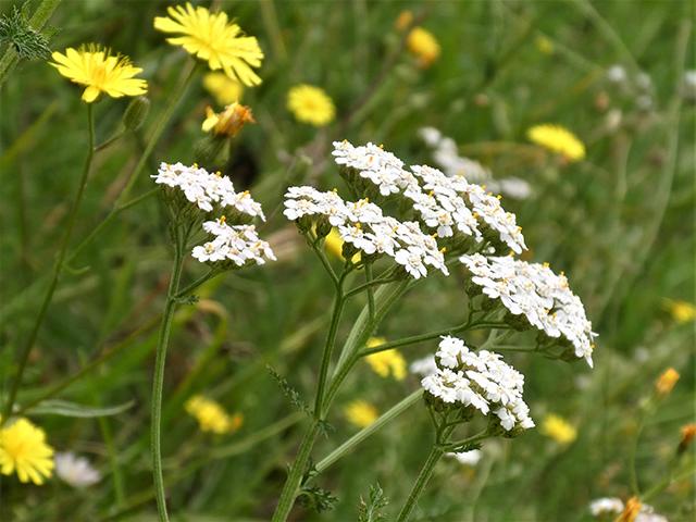 Abb. 2 Der doldige Blütenstand der Gewöhnlichen Schafgarbe besteht aus mehreren Teilblütenständen, die in Körben mit mehreren Blüten enden.