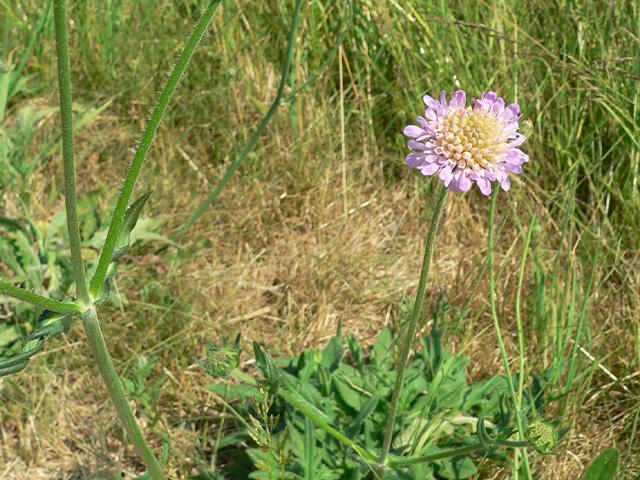 Abb. 2 Wiesen-Knautie mit Blütenständen in verschiedenen Stadien / Foto: Christoph Buchen