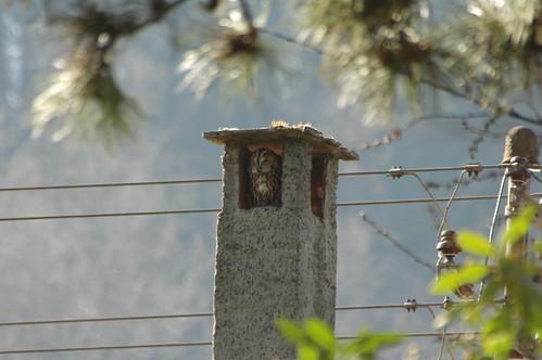 Dieser Waldkauz ließ sich wochenlang in seinem Tagesversteck am Rande des Schwarzwaldes beobachten. Foto: Thomas Griesohn-Pflieger