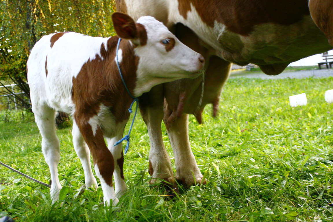und ihre gute Milch direkt vom Euter bekommt.