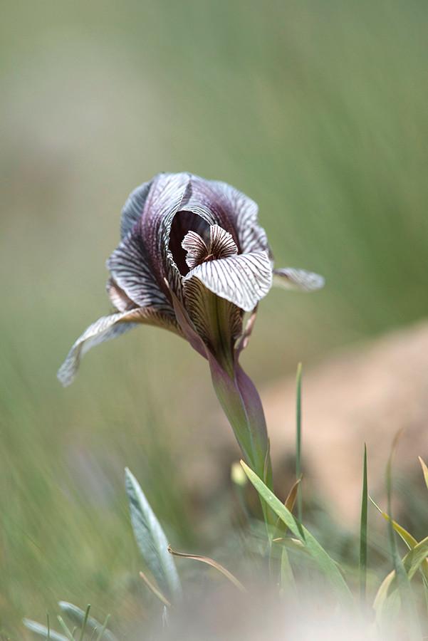 Iris acutiloba