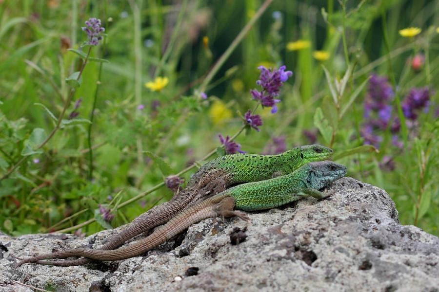 Lézard vert de la Caspienne