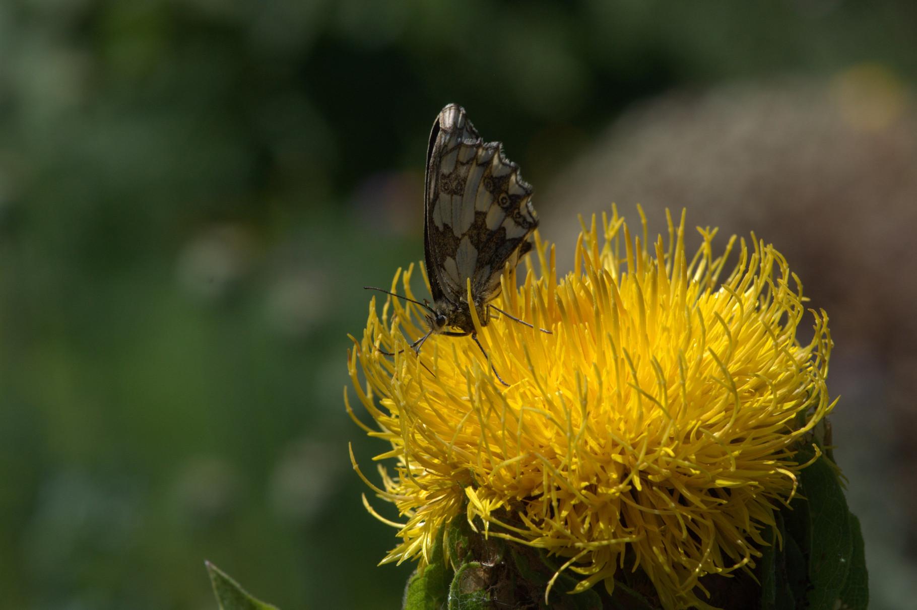 und hier der Schachbrettfalter auf einer Flockenblume