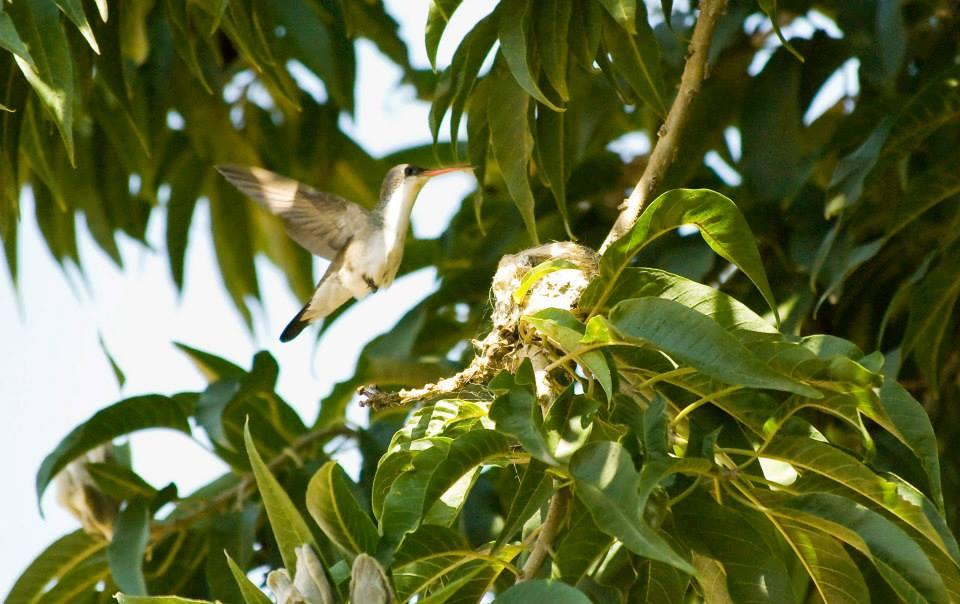 Hummingbird on nest*