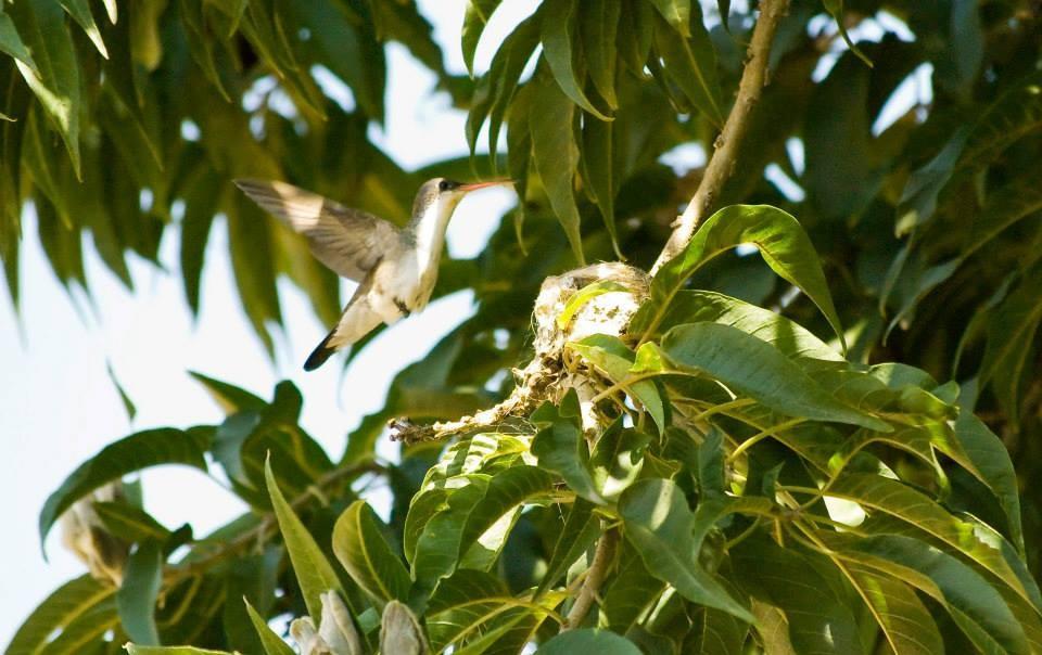 Kolibri auf dem Nest*
