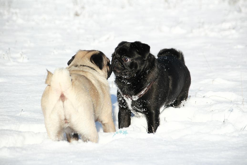 Mopsliebe im Schnee