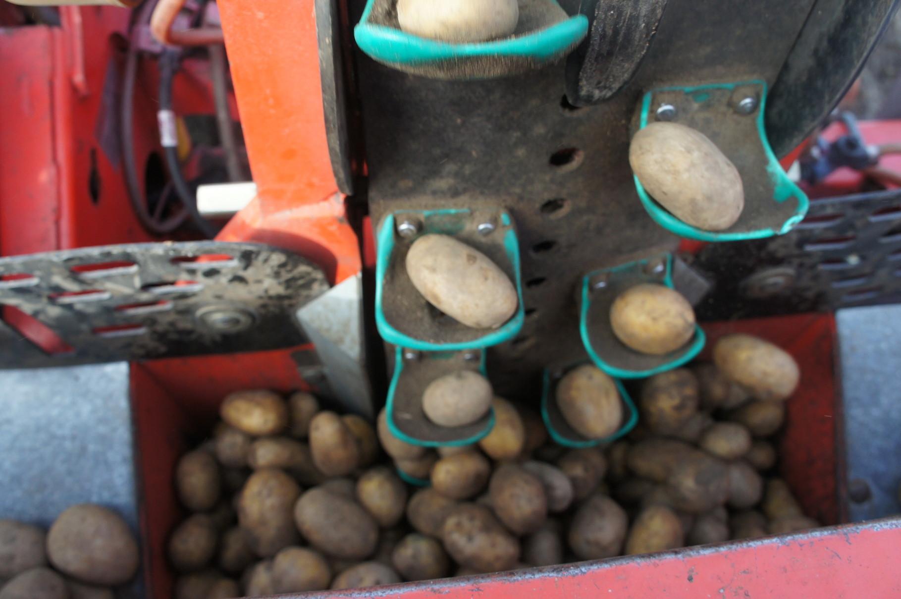 Kartoffelpflanzung-über einen Becher werden die Kartoffeln aus dem Bunker entnommen