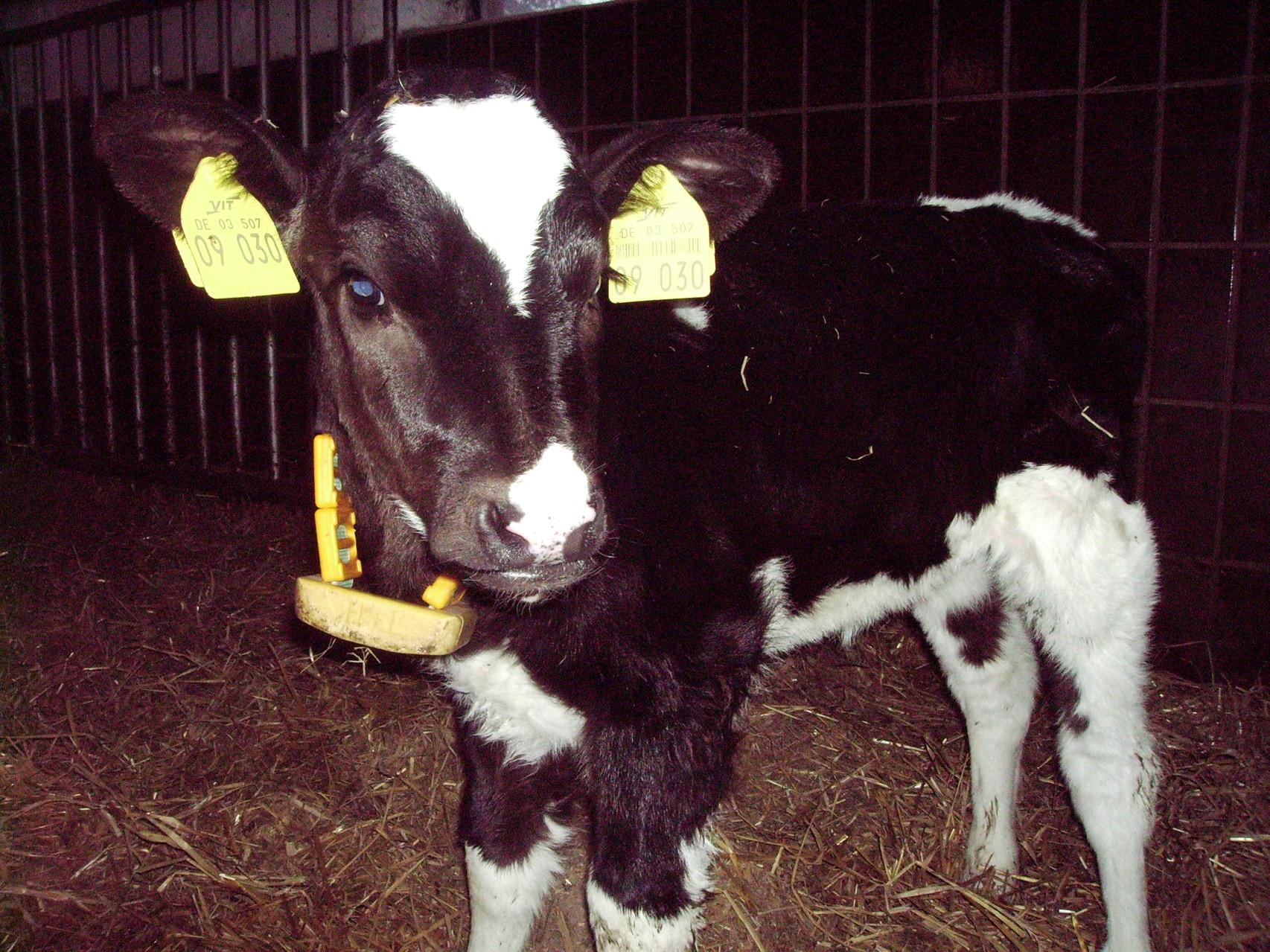 ein kleines Kalb, die Kuh von morgen