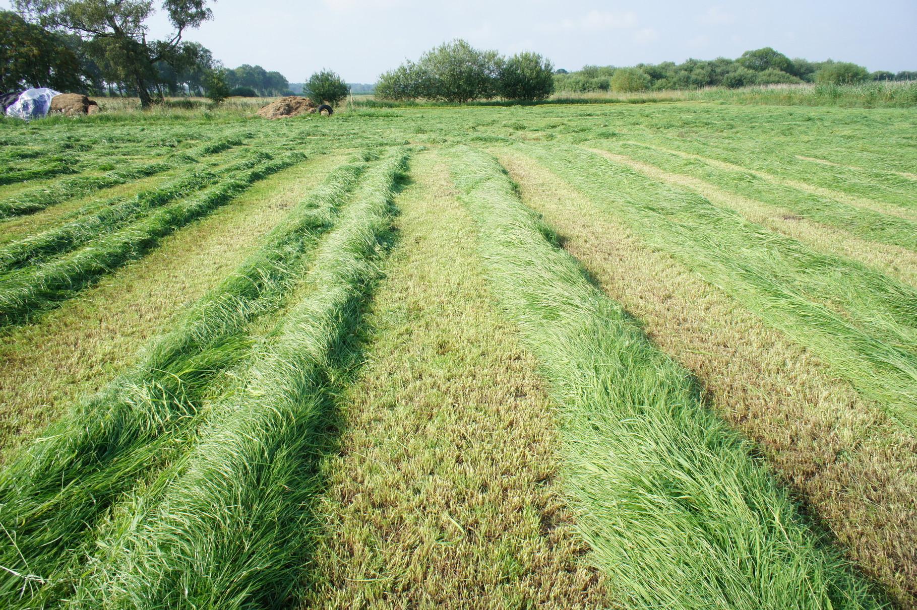 Ernte von Gras- nach dem mähen