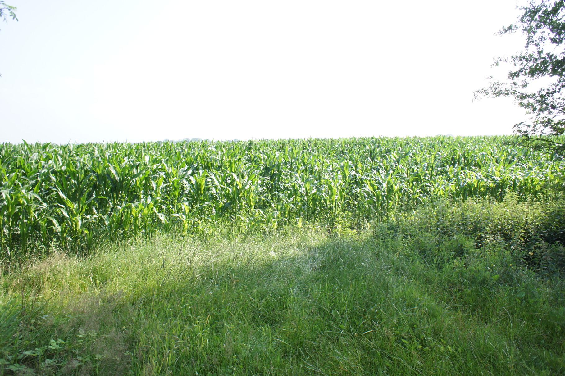 Mais auf dem Feld