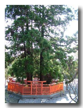 綾杉の大木
