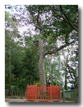 香椎宮裏手にある棺掛椎の木