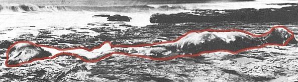 Seemonster vor Küste von Kalifornien, USA 1925 mit 6m Hals