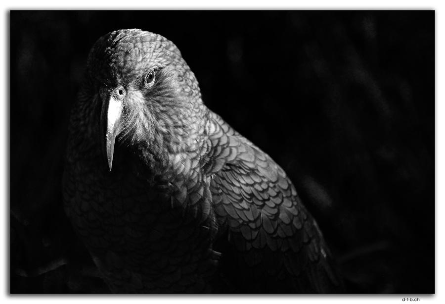 Willowbank Wildlife Park. Kea