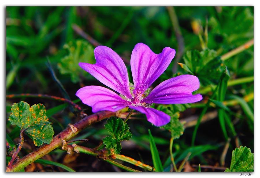 Chch.Blume