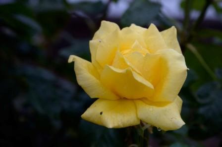 L133 Rose