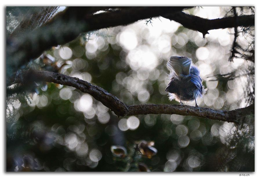 Stewart Island, Oban, Fantail