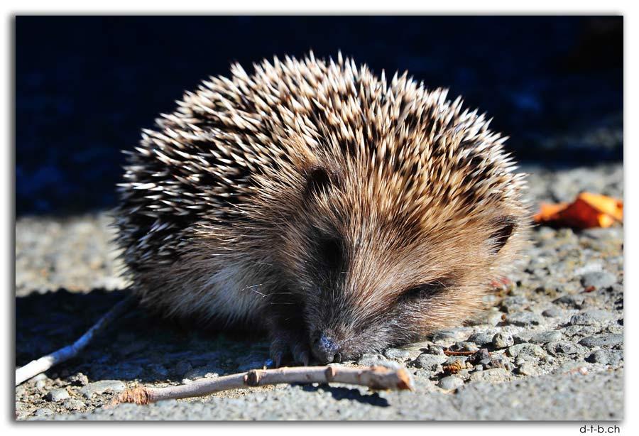 Chch.Hedgehog