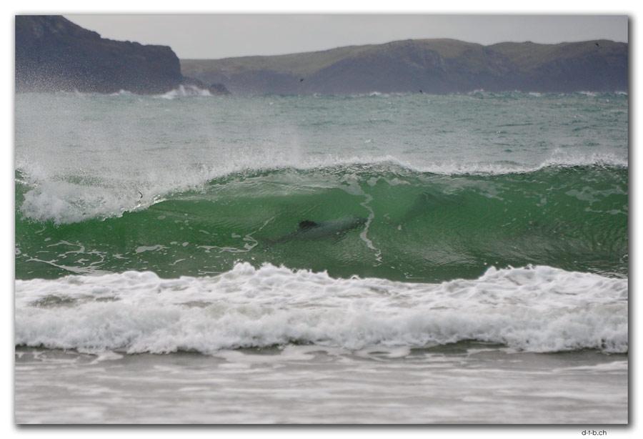 Curio Bay,Hector's Dolphin
