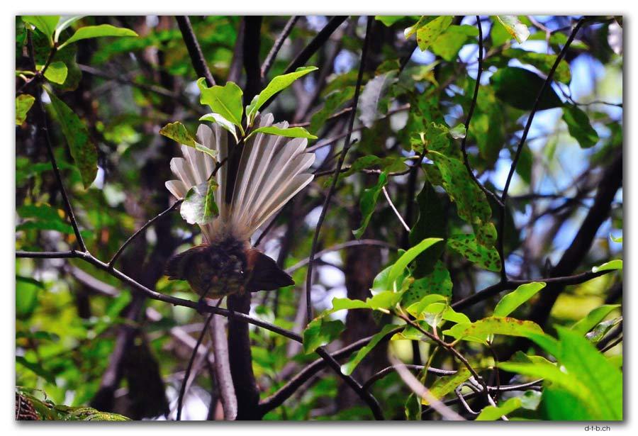Fantail. Milnthorpe Park