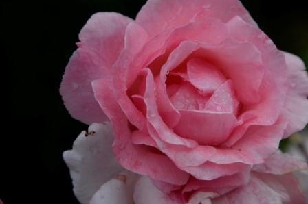 L134 Rose