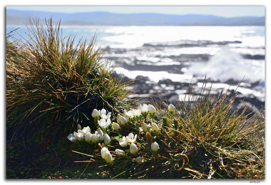Curio Bay, Flowers